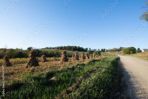 Fototapeta Ohio countryside landscape with Amish cornstalks in Autumn
