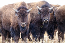 CLOSE UP, PORTRAIT: Two Curious Domesticated Bison Stop And Look Into The Camera