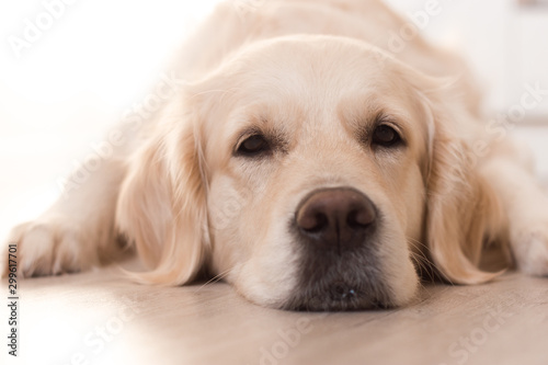 Fotomural golden retriever