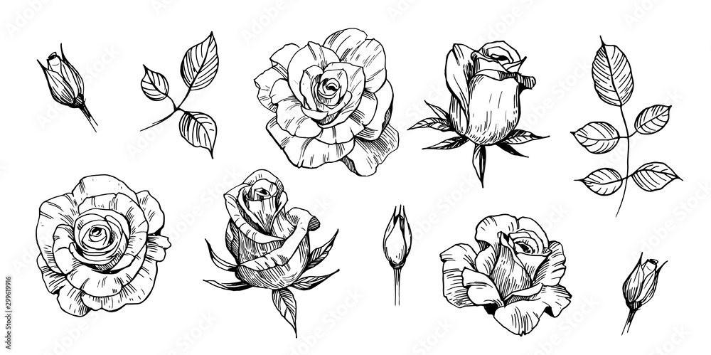 Fototapeta Sketch of rose. Hand drawn outline converted to vector. Isolated on white background