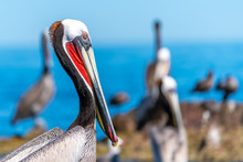 Brown Pelican Standing On The ...