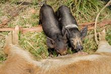 Mother Pig And Her Piglets Nursing.