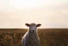 White Sheep Portrait In High G...