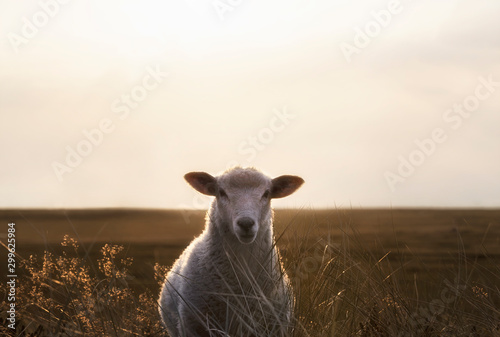 White sheep portrait in high grass on Sylt island at sunrise Canvas Print