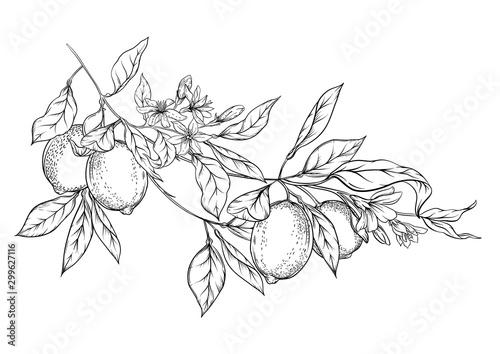 Foto Lemon tree branch with lemons, flowers and leaves