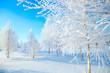 Leinwanddruck Bild - snowy tree in park. winter nature. Beautiful white winter. Blue sky.