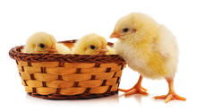 Chickens In A Basket.