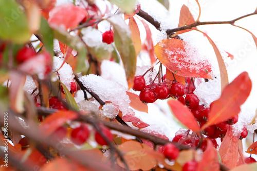 Snow covered scarlet chokeberries and reddish orange foliage