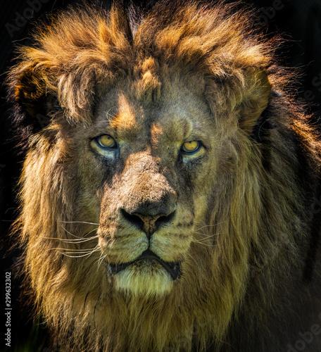 a closeup portrait photo of a lion's face staring. Wallpaper Mural