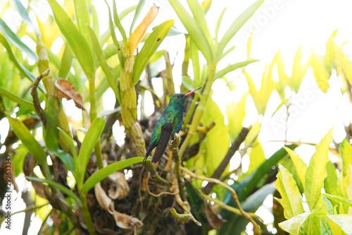 Poster Chamaleon Hummingbird on a branch