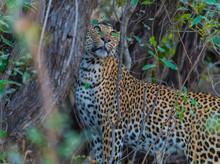 Leopard In Dense Bush Looking Up - Head, Shoulder, Back View