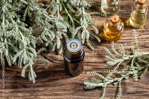 Fototapeta A bottle of santolina essential oil with fresh Santolina chamaecyparissus obraz na płótnie