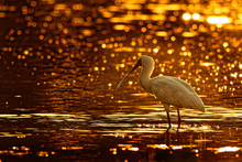 African Spoonbill - Platalea Alba Long-legged Wading Bird Of The Ibis And Spoonbill Family Threskiornithidae. White Bird In The Blue Water, Hunting, Fishing And Staying In Sunset