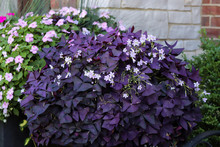 Purple Shamrocks For Container...