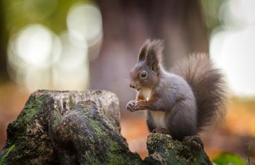 Naklejka na ściany i meble squirrel on a ratchet in nature