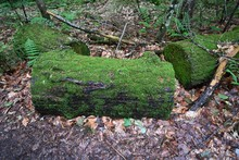 Closeup Shot Of Tree Logs Covered With Moss Isolated On Dry Leaves In The Forest