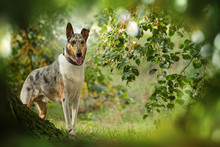 Short Haired Collie Standing Under A Tree