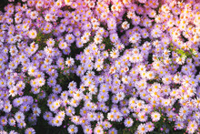 Purple Flower Background. Flowers In Garden