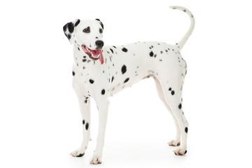 Dalmatian dog isolated on white background