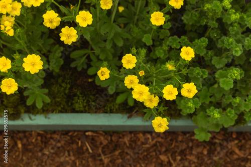 Yellow potentilla flowers growing in the garden Fototapet
