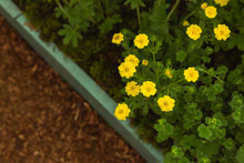 Yellow Cinquefoil Flowers Grow...