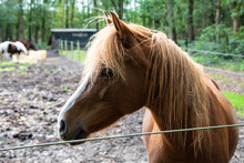 Close-up Of An Adult Brown Horse. Stallion.