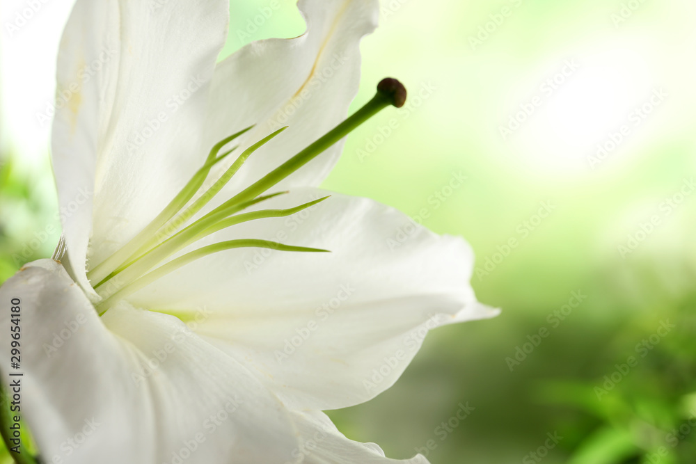 Fototapeta Beautiful lily on blurred background, closeup view. Space for text