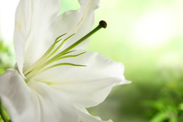 Beautiful lily on blurred background, closeup view. Space for text