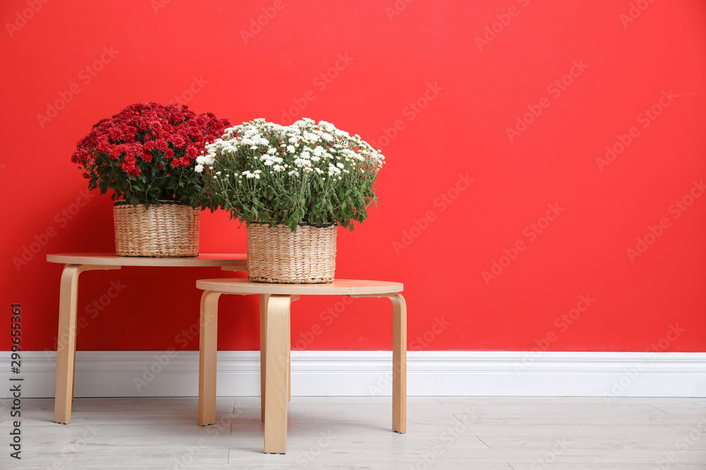 Fototapety, obrazy: Pots with beautiful chrysanthemum flowers on wooden tables against red wall. Space for text