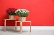 canvas print picture - Pots with beautiful chrysanthemum flowers on wooden tables against red wall. Space for text