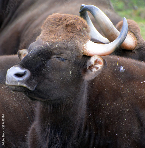 The gaur or Indian bison, is the largest extant bovine, native to South Asia and Southeast Asia Canvas-taulu