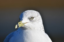 A Closeup Of A Ring-billed Gul...