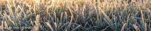 Obraz Panorama von Gras an einem frostigen Morgen im Herbst - fototapety do salonu