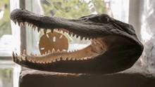 Taxidermy Head Of Alligator On...
