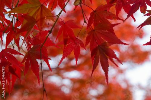 Obraz maple leaves in autumn - fototapety do salonu