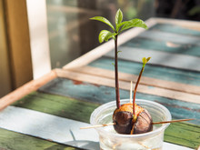Avocado Plant Seed Sprouting A...