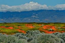 Antelope Valley Wildflowers, With Tehachapi Mountains In Background, California