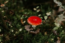Selective Focus Shot Of An Red Agaric Fungus Growing Among Green Leaves