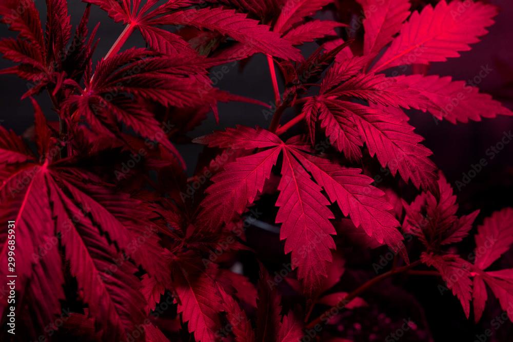 Fototapety, obrazy: cannabis plant leaves in grow under purple pink LED lights.growing marijuana
