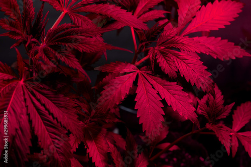 cannabis plant leaves in grow under purple pink LED lights.growing marijuana  - 299685931