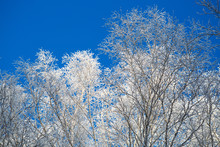 Snow Covered Winter Birch Tree Tops Blue Sky Branches Covered With Snow