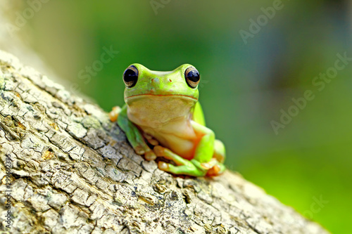 Photographie dumpy frog, green tree frog, papua green tree frog