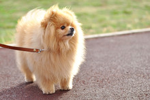 Little Fluffy Cute Pomeranian Spitz Puppy Outside In The Sunshines On The Walk On A  Leash. Cream Beige Ginger Foxy Sunny Sun Dog-spitz With Brown Kind Eyes Pet. Dog Breeding. Love Animals Friendship