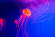 canvas print picture - Jellyfish Japanese sea nettle Chrysaora pacifica