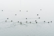 A Flock Of Coots And Ducks Swi...