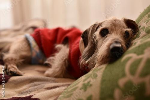Obraz na plátně 寝起きの老犬