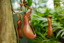 Nepenthes Jamban Is A Tropical Pitcher Plant