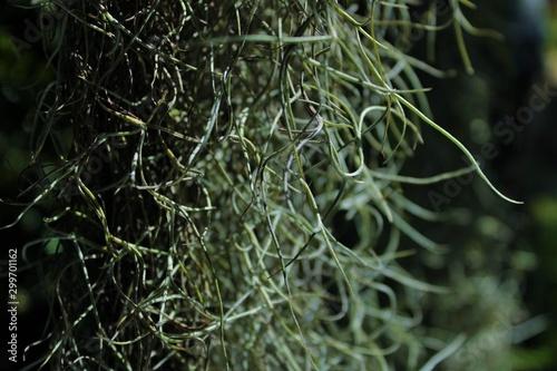 plants: mustache hermit creeper Tableau sur Toile