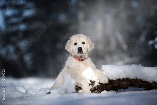 Obraz golden retriever puppy posing in a winter forest - fototapety do salonu