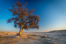 One Ghaf Tree At Sunset In The...